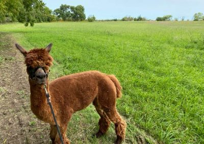 Alpaca-in-the-field