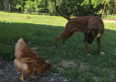 dog-and-chicken